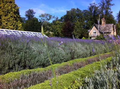 Blenheim Palace, pleasure Gardens, Lavender