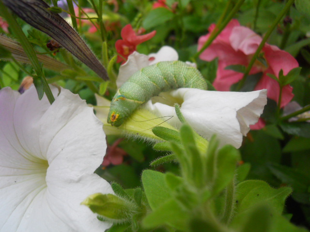 caterpillar, big butterfly count, conservation
