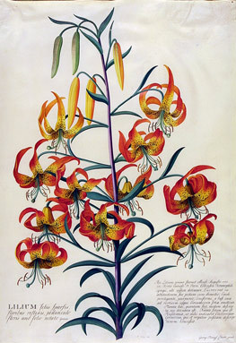 Botanical, illustration, lilium, superbum