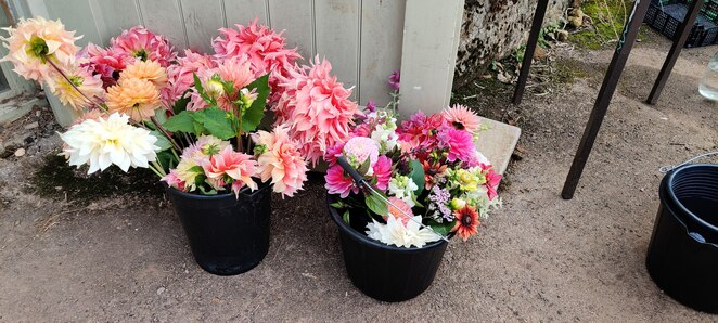 Cut Flowers, Dahlias, Root Connections