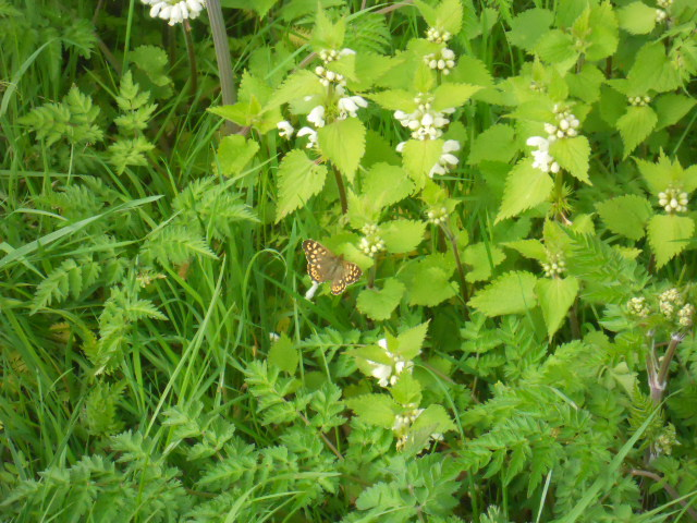 mitcham Common, butterfly