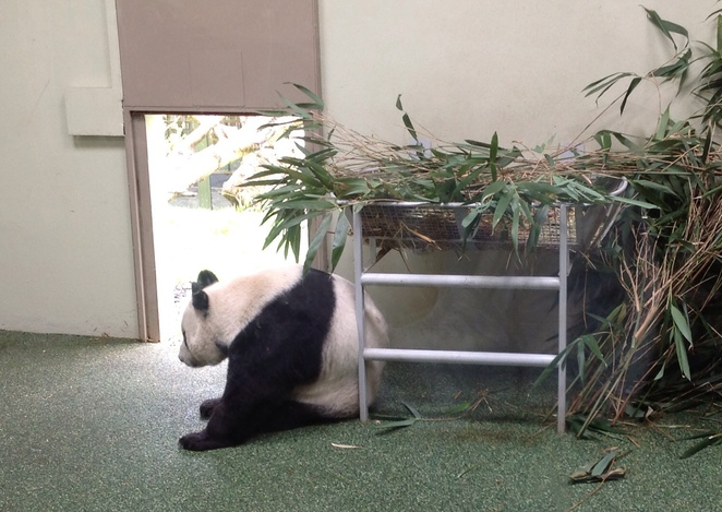 Panda, edinburgh zoo, black, white, bear