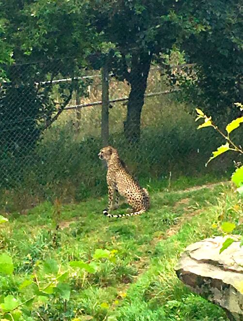 cheeta,zoo,exmoor,devon,england,conservation,breeding