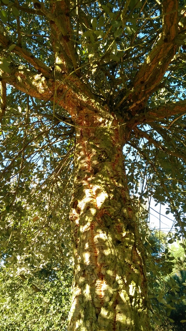 Kew Gardens, cork tree