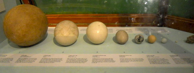 natural history museum, bird eggs