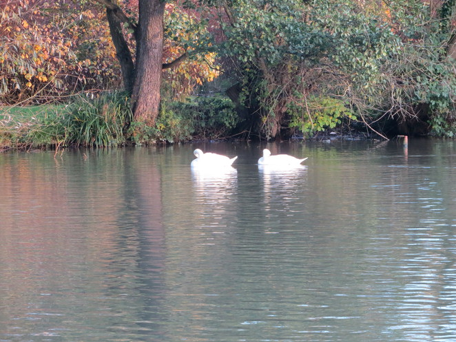 geese, thames, path, iffley, oxford
