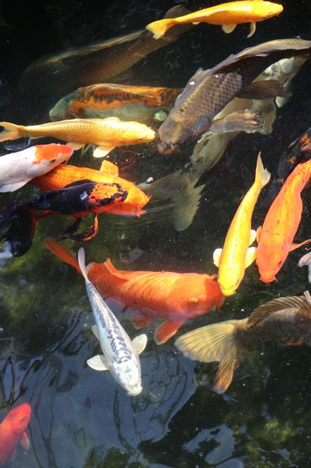 koi,ponds,butterfly,fish,colourful,fish feeding