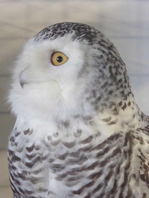 Siku, the young Snowy Owl