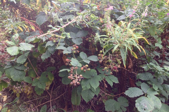 Brambles, blackberries, bush, hedge, autumn, walks
