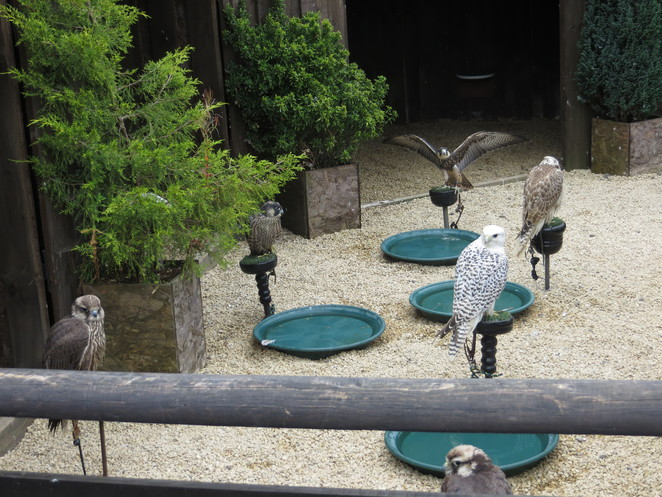 falcons, saker gyr, millets farm falconry