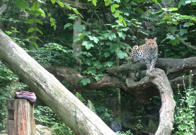 leopard, tree, zoo