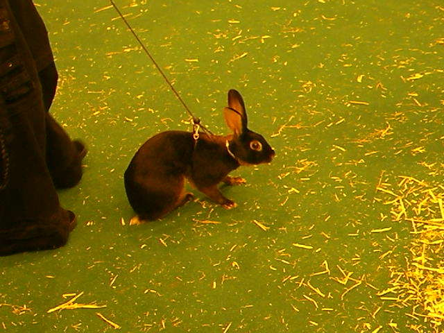 london pet show, rabbit