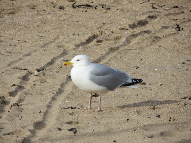 seagull, north berwick, firth of forth