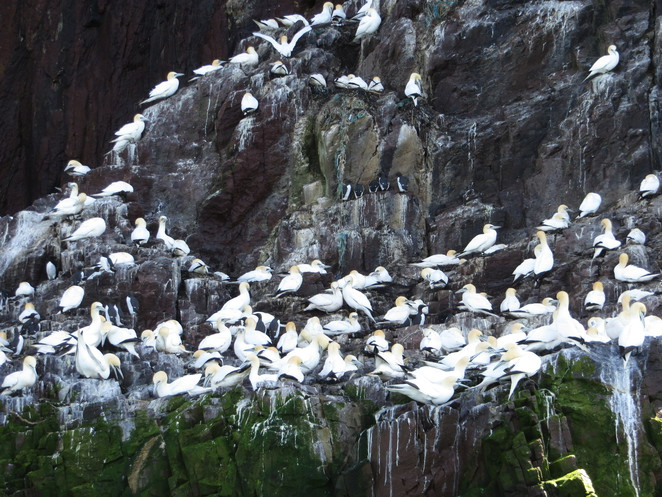 bass rock, gannets, north berwick, firth of forth, edinburgh
