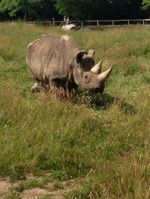 Rhino, Rhinoceros, Chester Zoo