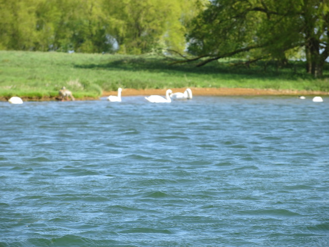 birds, rutland water, kayak, canoe
