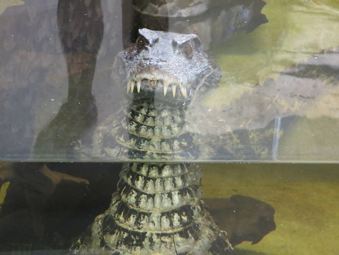 crocodile, zoo