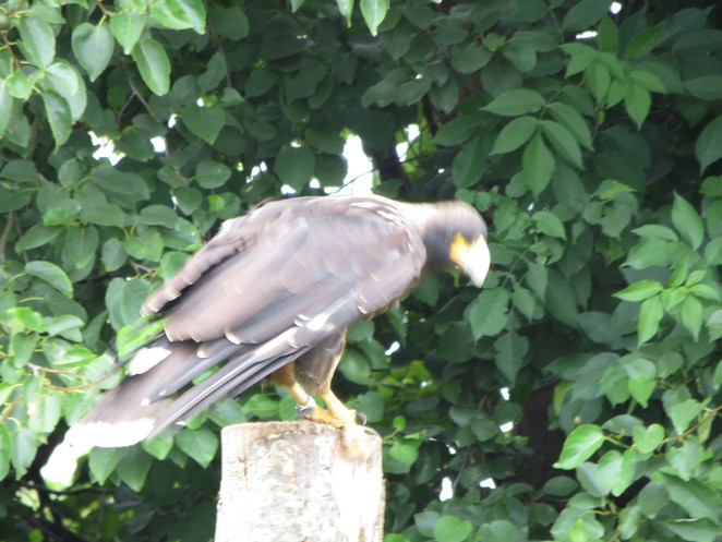 millets farm falconry striated caracara