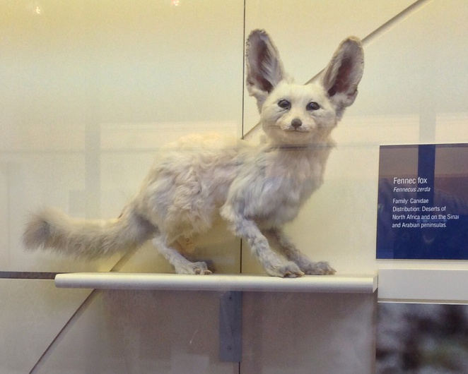 Fennec fox, natural history museum, london